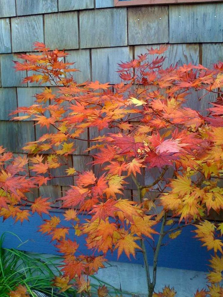 japanischer Fächer-Ahorn mit rotem Laub