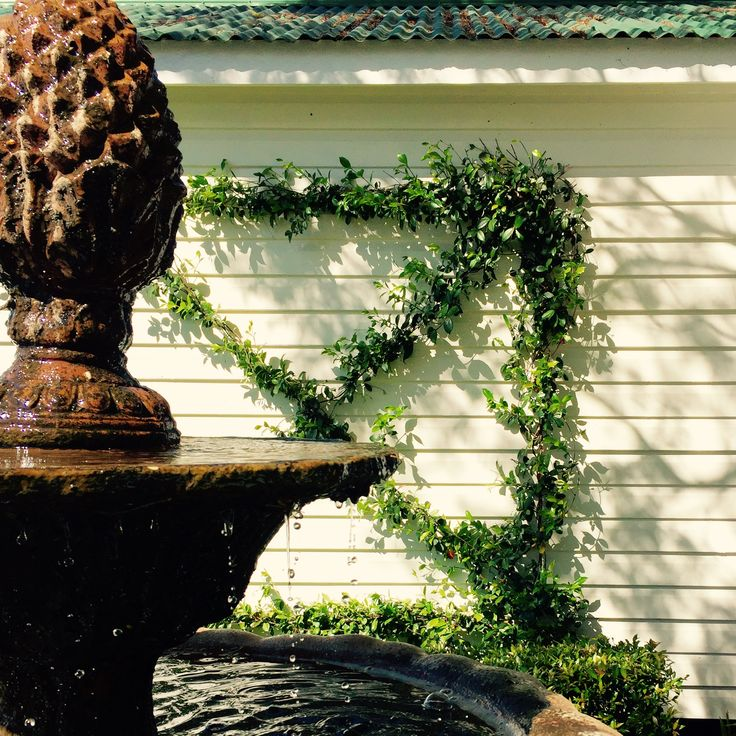 Beautiful old fountain with loose clipped Jasmine Ipswich, Queensland Australia