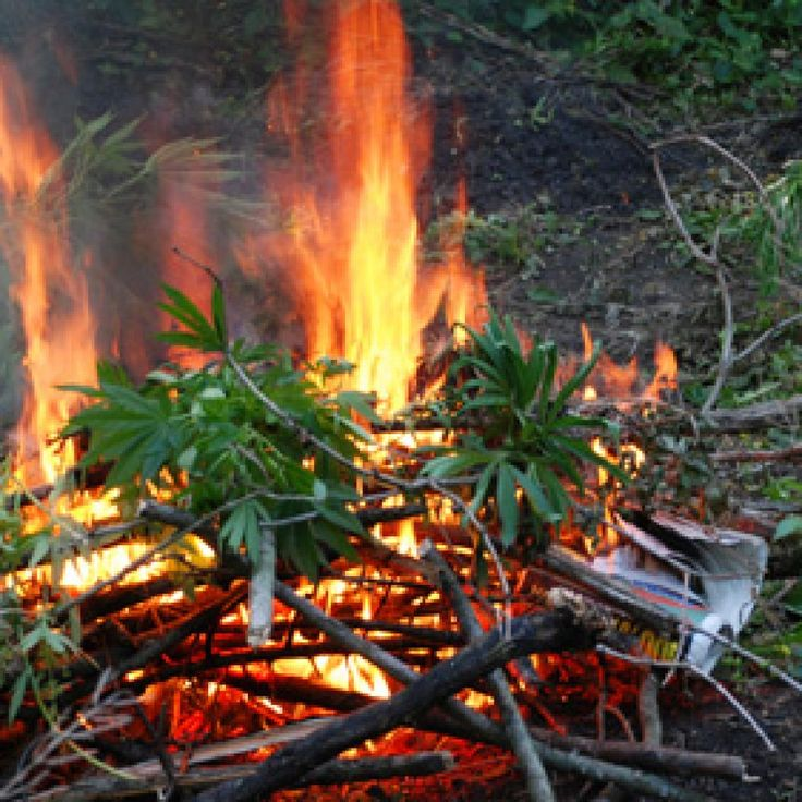A furious young man called police when his father burnt his cannabis plants.
