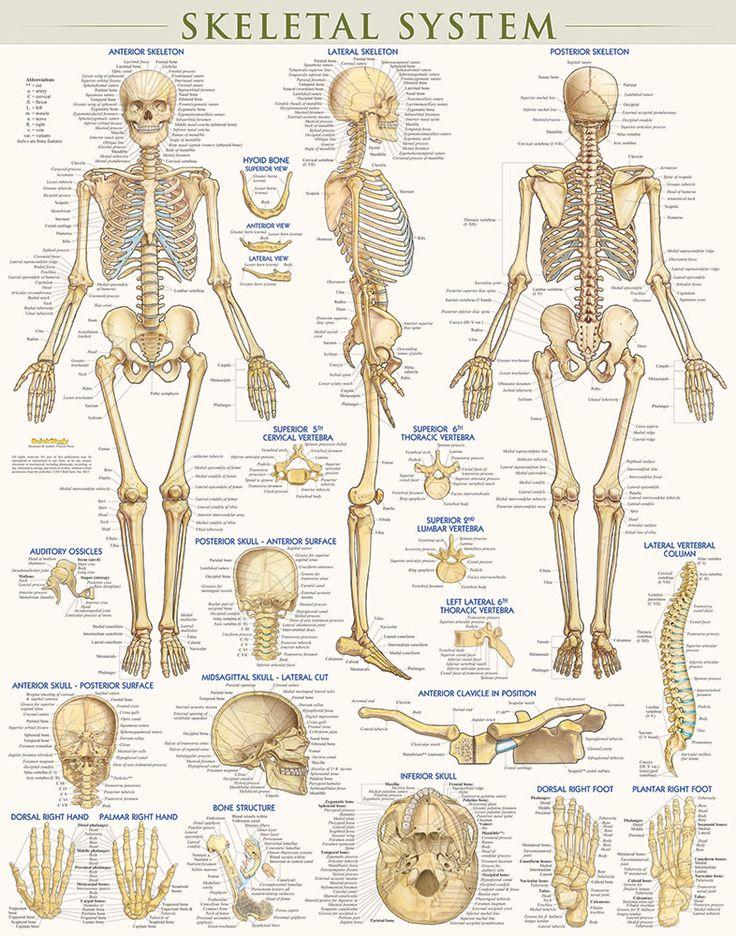 Ungewöhnlich Organ Des Menschen Anatomie Diagramm Zeitgenössisch ...