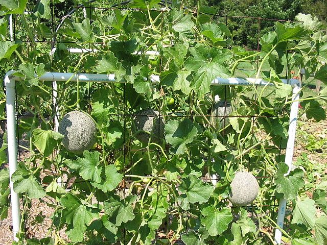 Cantaloupe trellis in square foot garden. 17 Best images about SQUARE FOOT GARDENING on Pinterest   Gardens