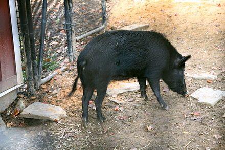 An Ossabaw hog