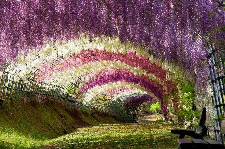 Túnel de glicinias en el jardín botánico de Kawachi Fuji. 4 horas de Tokio, Japón.