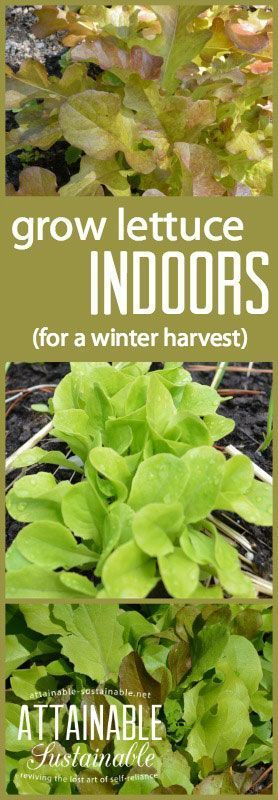Try your hand at growing lettuce indoors this winter, if you're missing your vegetable garden! If you give it what it needs, you can be successful and provide your family with tasty lettuce and baby greens that will rival those store-bought clam shells of