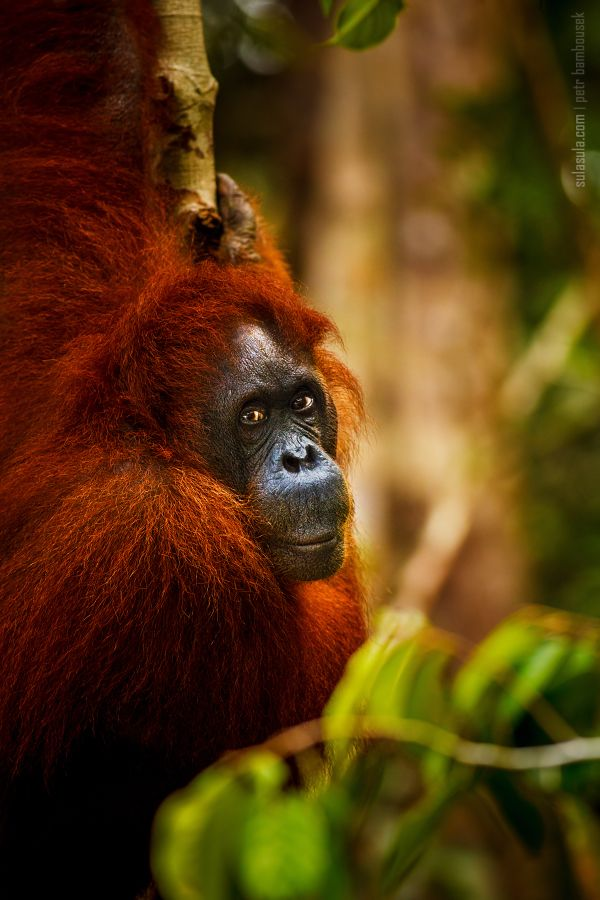 Orangutan | Borneo by Petr Bambousek
