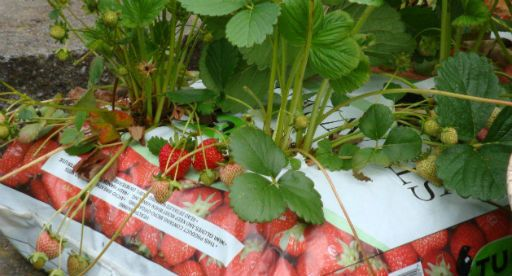 Tui Garden | Fruit Gardener's Diary - September