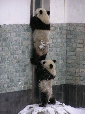 "* * PANDA ON BOTTOM: "" Ya know, technically, me should be de one on top, cuz yoo be a lardass."""