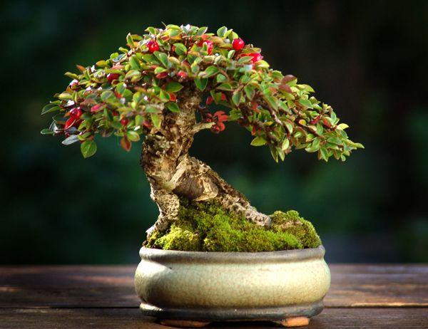 The Art of Bonsai Project - Feature Gallery: Shohin Bonsai: Beautiful Bonsai, Bonsai Trees, Cotoneast Bonsai, Bonsais, Red Berries, Shohin Bonsai, You, Bonsai Beautiful,  Flowerpot