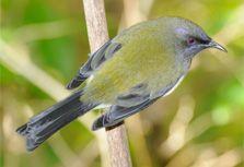 Bellbird. Photo copyright: Simon Fordham/NaturePix www.naturepix.co.nz.