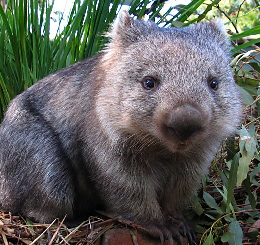 wombat - as if this isn't the cutest animal Evvver!. - D.S.
