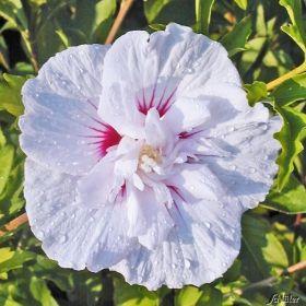 Best Hibiscus uChina Chiffon u jetzt g nstig in Ihrem MEIN SCH NER GARTEN Gartencenter schnell