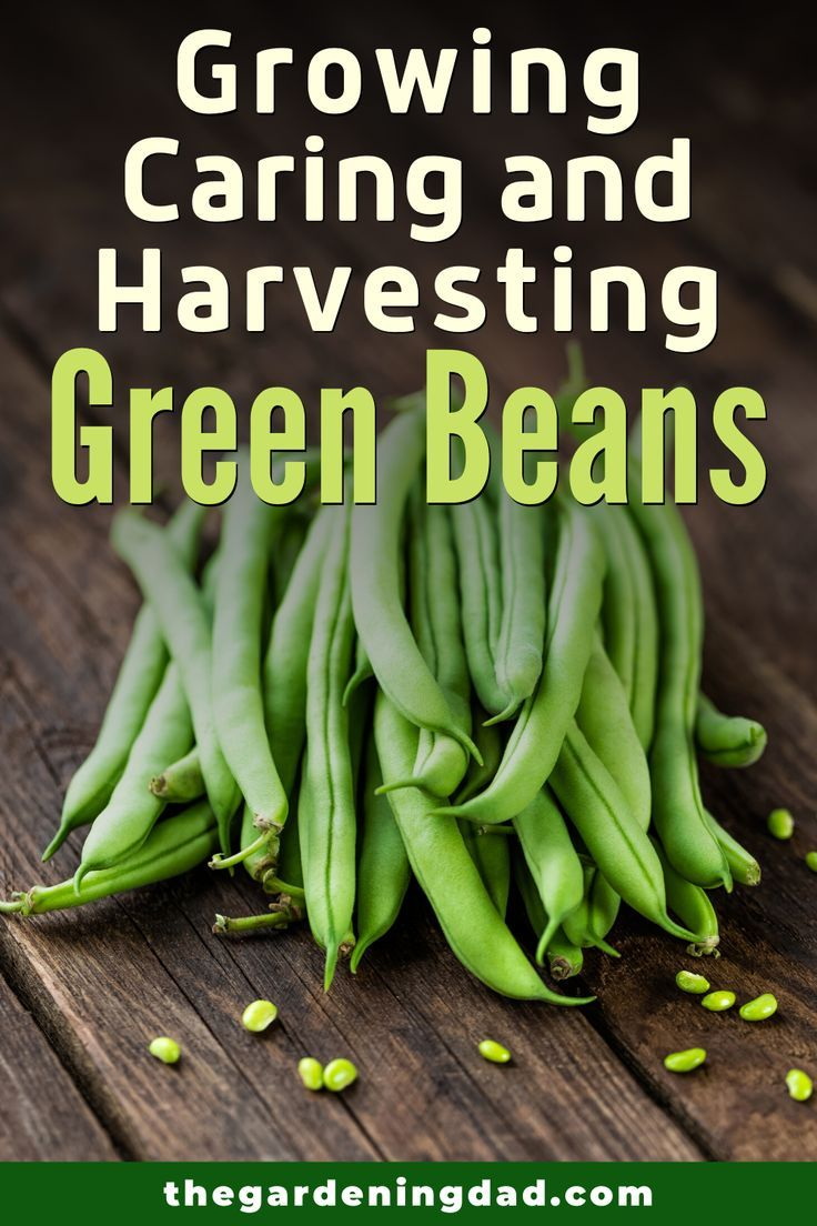 7 Easy Tips Growing Green Beans From Seed The Gardening Dad Growing Green Beans Green Beans Growing Greens