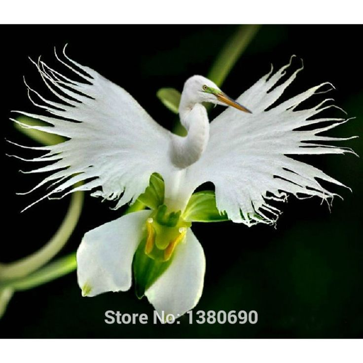 Japanese Radiata Seeds White  Egret Orchid Seeds World's ᓂ Rare Orchid Species White Flowers Orchidee Garden & Home PlantingJapanese Radiata Seeds White Egret Orchid Seeds World's Rare Orchid Species White Flowers Orchidee Garden & Home Planting