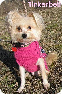 Menomonie, WI - Maltese/Pomeranian Mix. Meet Tinkerbell a Dog for Adoption.