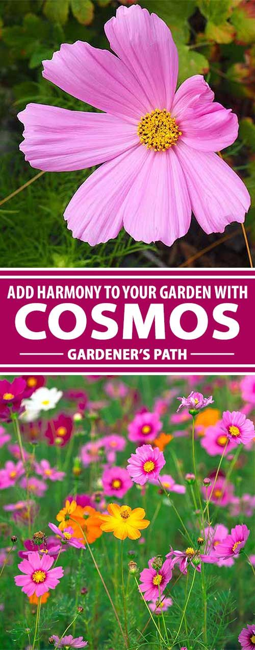 Invite a riotous explosion of color into the garden with cosmos, the daisy cousin that delights with low maintenance, profuse blooms, and generous height. Learn how to grow this heat-loving annual now at Gardener's Path.
