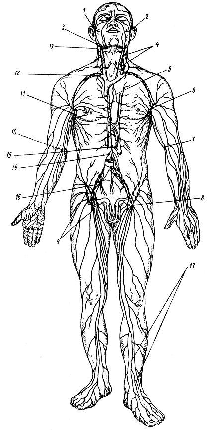 Лимфатическая система (схема).