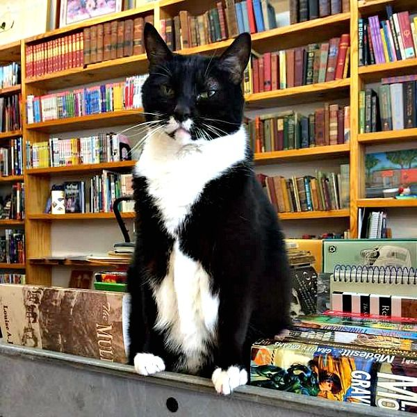Meet Page, feline PR-manager of the Book Buyers Library in Charlotte, North Carolina. Click here to read the story of this library cat and to see 10 photos: http://www.traveling-cats.com/2016/02/cat-from-charlotte-usa.html (library, cats, feline, Book Buyers Library, Charlotte, North Carolina)