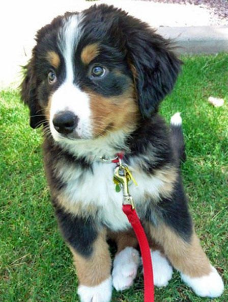 Bernese Mountain Dog Rescue Pa - http://pets-ok.com/bernese-mountain-dog-rescue-pa-dogs-798.html