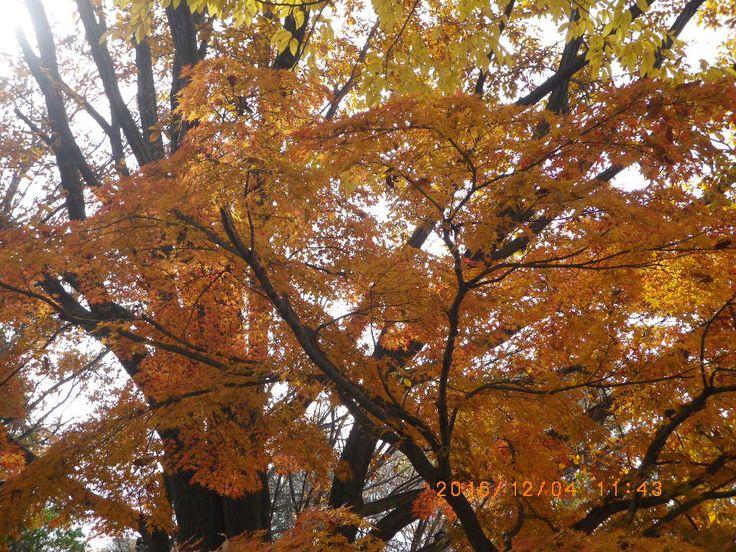 色がだいぶ変わったがこれはこれで綺麗♪ The color has changed a lot but beautiful this is it♪ #my photo #Nature is beautiful #maple