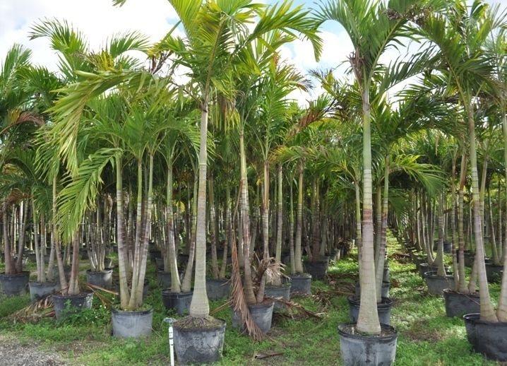 Palm Tree Nurseries Thenurseries