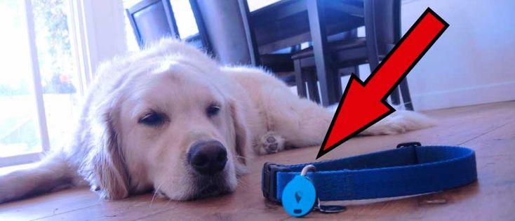 Como Evitar Que o Seu Cão Se Perca Usando o Seu Smartphone? | Rede Vermelha