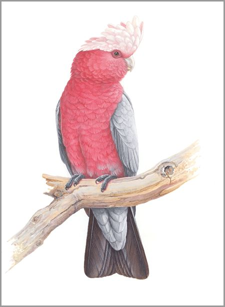 GALAH : The Art of Jeremy Boot, One of Australias finest wildlife artists