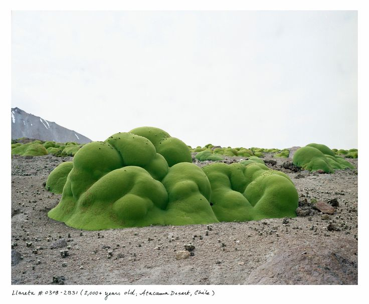 Llareta, 2,000 years old; Atacama Desert, Chile by Racehl Sussman, science.time.com: What looks like moss covering rocks is actually a very dense, flowering shrub that happens to be a relative of parsley, living in the extremely high elevations of the Atacama Desert. #Nature #Llareta #Shrub