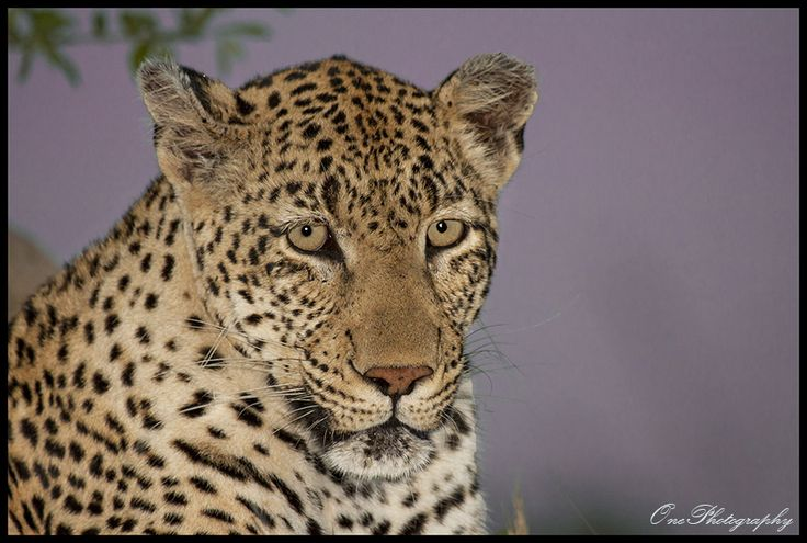 Early evening Leopard by Onephotography by John de Jager on 500px