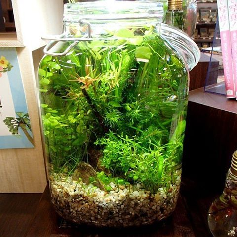 "94 Likes, 3 Comments - SONO Aquaplants Farm (@sono_aqua_pfm) on Instagram: ""作品『3L-BAQ』瓶の中の小さな地球トリミングを繰り返すことで、水景を作り上げていきます #SONOアクアプランツファーム  #BottleAquarium #ボトルアクアリウム #水草…"""