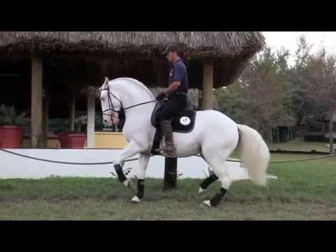 Top Lusitano Stallion (Poderoso do Retiro) Isabelino