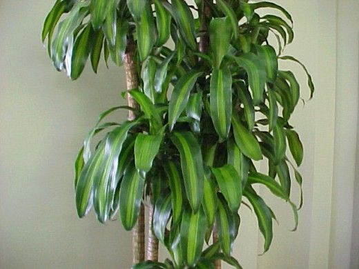 Cornstalk Plant | The cornstalk plant is an excellent indoor plant commonly used by feng ...