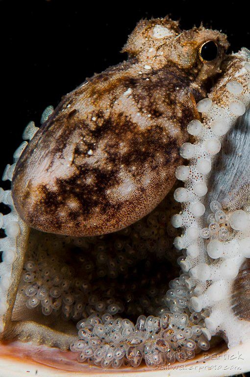 Octopuses have 2 eyes and 4 pairs of arms and are bilaterally symmetric.
