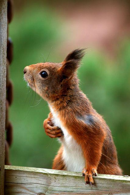 eurasian red squirrel   Ekorn / Eurasian red squirrel   Flickr - Photo Sharing!