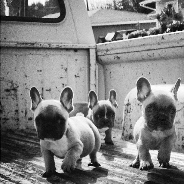 'Attack of the French Bulldog Puppies!', via Batpig & Me Tumble It • by dakkydak Limited Edition French Bulldog Tee teespring.com/...