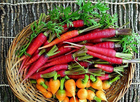 Eine lustige Mischung von farbigen Karotten zu erhellen Ihren Tisch und Ihre Kinder zu unterhalten. Sorten sind unten aufgeführt.  Oberfläche auf reiche Kompost zu säen und feucht halten. Karotten wachsen am besten unter kühlen Bedingungen. Sie Reifen in 70 Tagen, aber Sie werden wahrscheinlich essen sie alle ersten.  * RED CORE CHANTENAY: knackig und süß. Fleisch ist rötlich-orange * SCHARLACHROTE NANTES-Fine-grained Fleisch mit einem sehr feinen Geschmack. * KYOTO rot - süße Purpur…