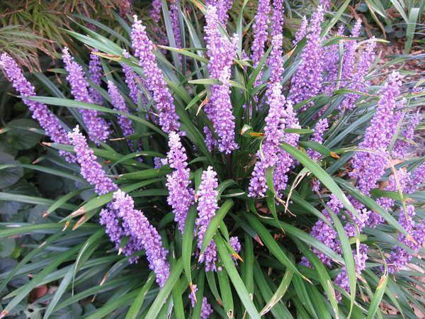 Liriope muscari 'Royal Purple' — Warners Nurseries