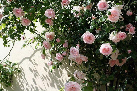 61 best images about rosier grimpant on pinterest rose. Black Bedroom Furniture Sets. Home Design Ideas