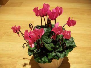 Cuidados del Ciclamen - planta de interior y de invierno
