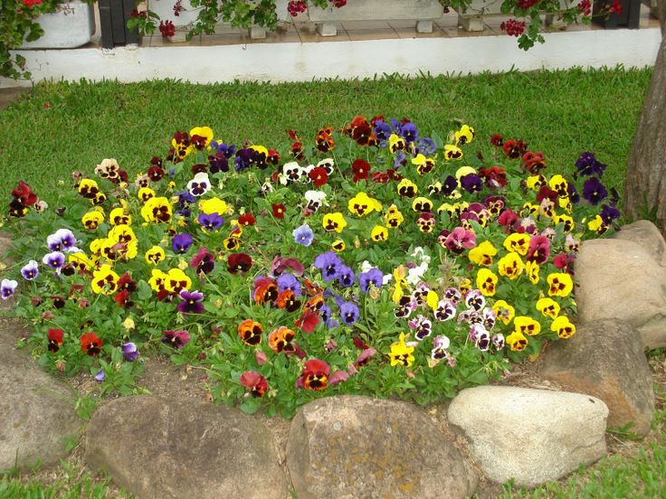 52 melhores imagens de flor feras anuais no pinterest - Como cultivar crisantemos ...