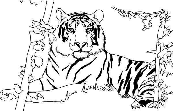 Tiger A Lazy Tiger After Its Meal Coloring Page Online