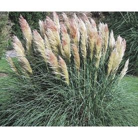 3 gallon dwarf pampas grass l9229 florida gardening for Fast growing ornamental grass