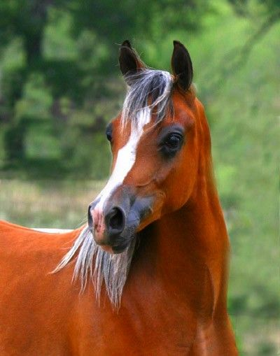 Cheval pur sang arabe   J'aime son chanfrein ;-)