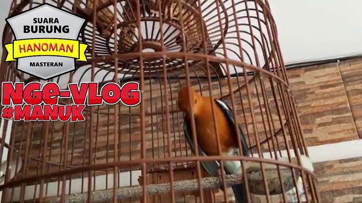 Pancingan Dan Masteran Burung Anis Merah Gacor Teler Burung Merah Pancing