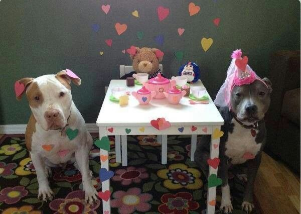 Funny Happy Birthday Pitbull Dog Pictures