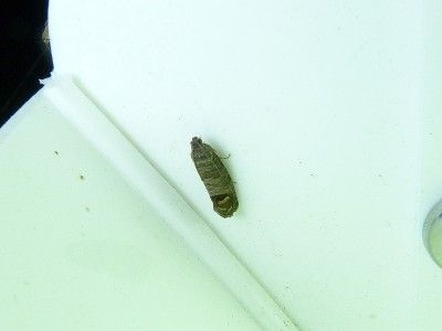 Codling Moth Protection: Tips For Controlling Codling Moths -  Codling moths are common pests of apples, pears and other fruits. These small unassuming moths are dangerous to commercial crops and can cause extensive fruit damage. Learn how to treat for them here.