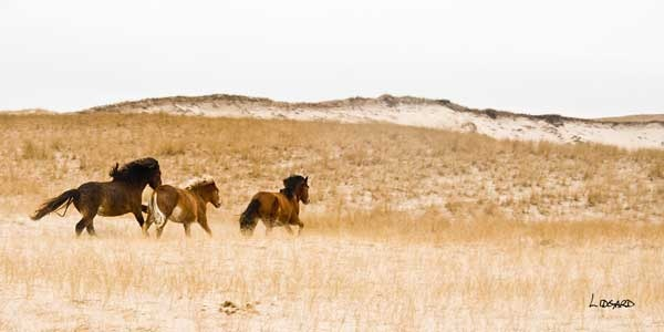 Wild horses on Sable Island, Nova Scotia