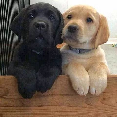 Cute labrador retriever puppies