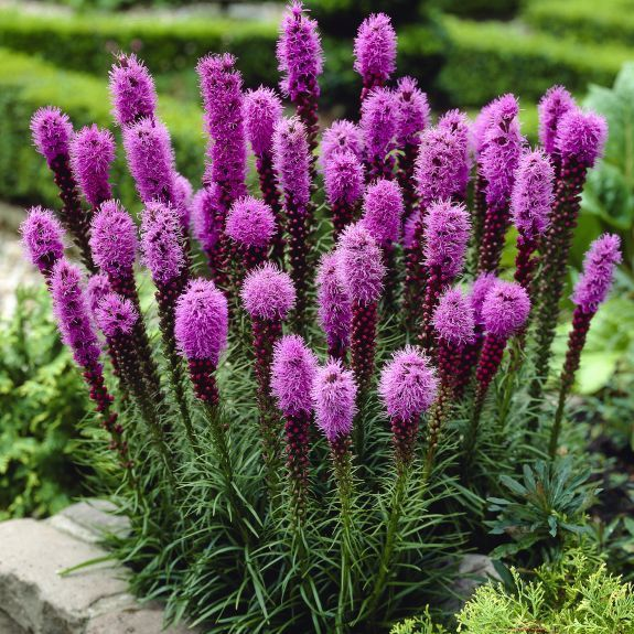 Plant this interesting flower this spring; Liatris Spicata Blazing Star, #liatris #blazingstar #flower