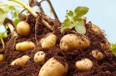 Termeljünk rekord mennyiségű burgonyát otthon, a kertünkben. Most megtudhatod te is, hogy termelj még több burgonyát eredményesen, remek tippek egy tapasztalt szakembertől.