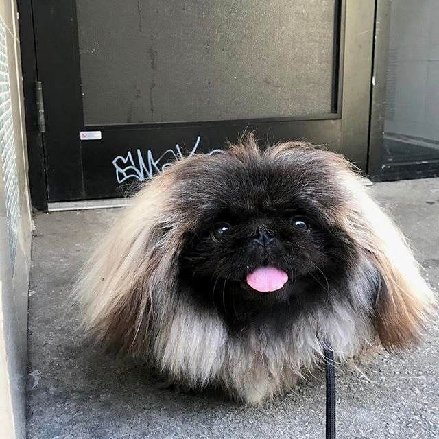 You might want to avoid this hood at night 😎🐶 Follow @insta.pekingese for more  via @wontonsoup_the_peke  Love to tag? Please do!⤵ 💖 💗  #pekingese #pekingeseofinstagram #pekingeselove #pekingesemix #pekingeselover #pekingesepuppy #pekingese_feature #pekingeseofig #peke #pekestagram #pekesofinstagram #pekerjaan #pekesofig #pekelove #pekena #pekerjakeras #pekerman #pekenomarques #pekistagram #pekines #pekinez #ペキニーズ #페키니즈 #ペキスタグラム #鼻ぺちゃ #愛犬